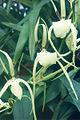 Brassia-girouldiana.jpg