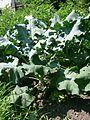 Brassica oleracea italica, Sault Ste Marie 2.JPG