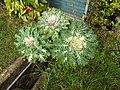 Brassica oleracea osaka white-2-nuwara eliya-Sri Lanka.jpg
