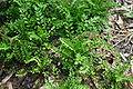 Brassicaceae weed 002.JPG