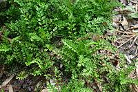 Brassicaceae weed 002