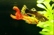 Breeding guppy IMG 0825.jpg