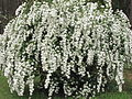Bridal-Wreath or Vanhoutt Spirea IMG 2714.jpg