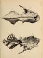 British Pleistocene Mammalia (1866) Cave Hyena Skull 1.png