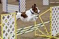 Brittany agility jump.jpg