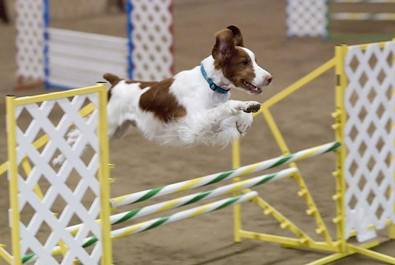 File:Brittany agility jump.jpg