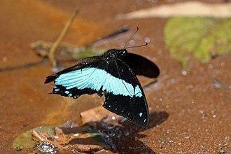 Papilio - Broad green-banded swallowtail (Papilio chrapkowskii), Kenya