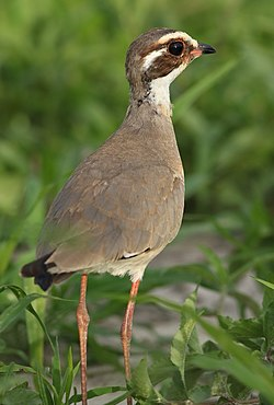 Bronze-winged courser, Rhinoptilus chalcopterus, at Elephant Sands Lodge, Botswana (32149561031).jpg