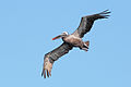 Brown-Pelican-North-Seymour.jpg