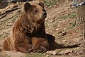 Brown Bear (207964291).jpeg