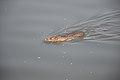 Brown Rat Swimming Across Santragachi Jheel - Howrah 2017-12-25 5621.JPG