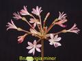 Brunsvigia minor ibiblio org PDBill Dijk NZ.png