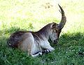 Bucardo cabra montes 5.jpg