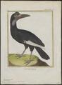 Bucorvus abyssinicus - 1700-1880 - Print - Iconographia Zoologica - Special Collections University of Amsterdam - UBA01 IZ19300145.tif