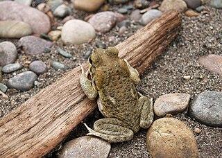 <i>Rhinella poeppigii</i> species of Amphibia