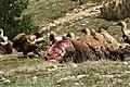 Buitres leonados (Gyps fulvus) 1.jpg