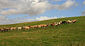 Bullocks in a field at The Kip - geograph.org.uk - 1465857.jpg