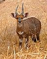 Bushbuck (Tragelaphus scriptus) male (33017267121).jpg