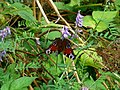 Butterfly - panoramio (9).jpg