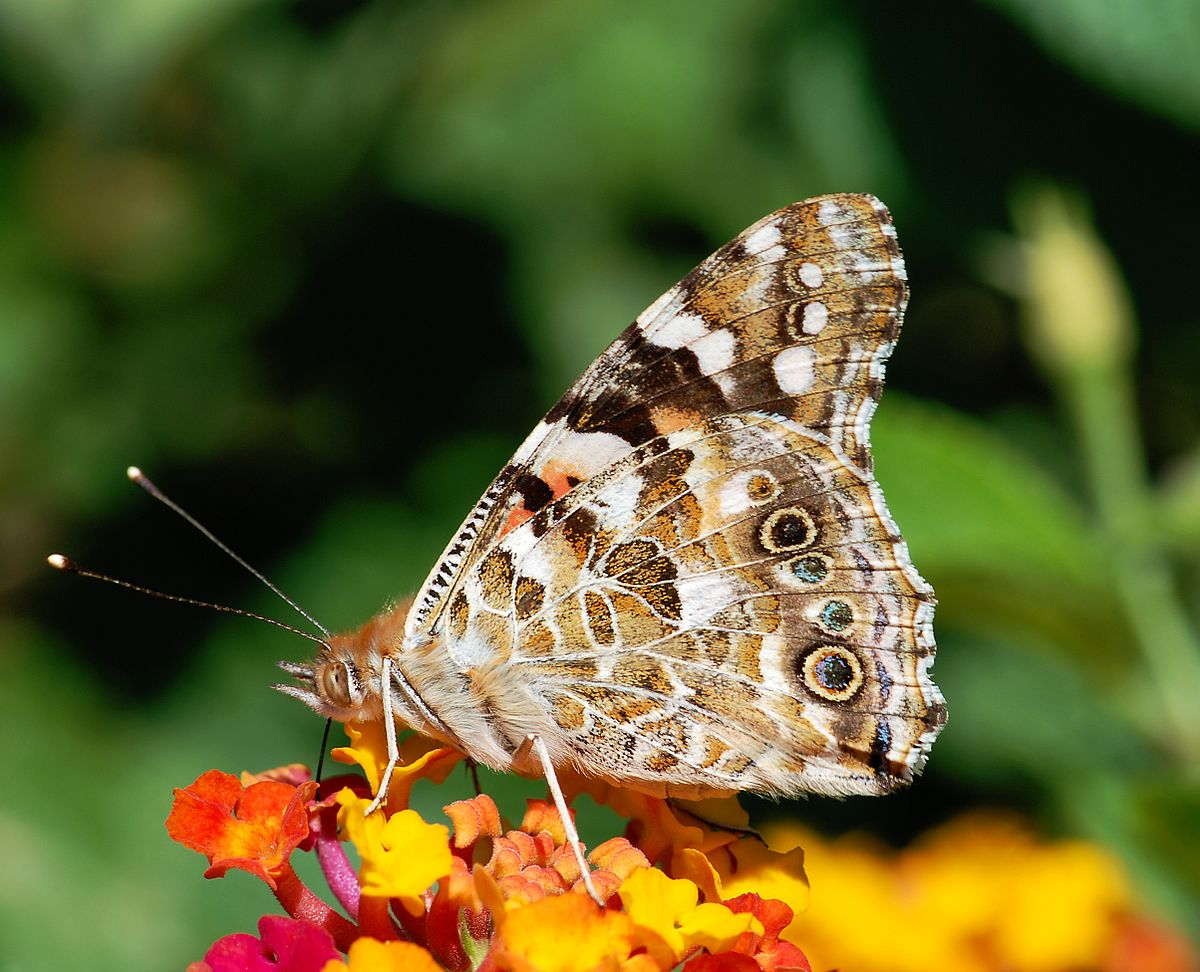 Butterfly Gallery: Painted Lady