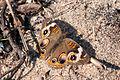 Butterfly at Jones Pond (6275820961).jpg