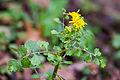 Butterweed (25306946374).jpg