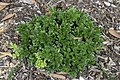 Buxus microphylla Morris Dwarf NBG LR.jpg