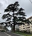 Cèdre Liban Avenue Général Leclerc - Le Plessis-Robinson (FR92) - 2021-01-03 - 1.jpg