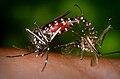 CDC-Gathany-Aedes-albopictus-4409.jpg