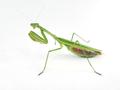 CMpraying Green pregnant female Chinese mantis (Tenodera sinensis).png