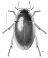 COLE Hydrophilidae Enochrus tritus.png