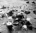 COLLECTIE TROPENMUSEUM Lotussen in de vijver van het Residentie-erf te Pasoeroean TMnr 10006222.jpg