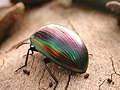 CSIRO ScienceImage 1553 A Beetle.jpg