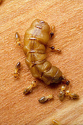CSIRO ScienceImage 2289 A mature queen termite.jpg