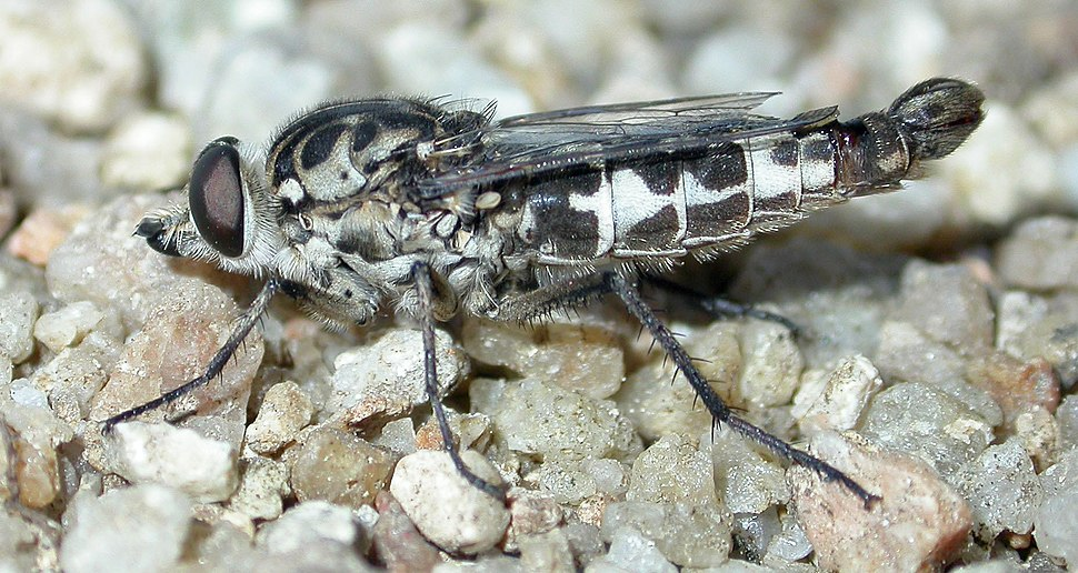 CSIRO ScienceImage 7106 A fly from the Family Apioceridae pollen feeding flies