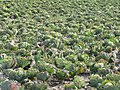 Cabbages - geograph.org.uk - 735017.jpg