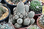 Cactaceae-Cactus in Thailand by Trisorn Triboon 5.JPG
