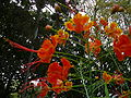 Caesalpinia pulcherrima 0002.jpg