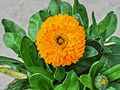 Calendula officinalis 31122014 (2).jpg