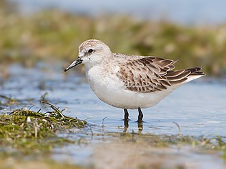 Red-necked stint - Winter plumage