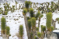 California Scottys Mountains Joshua tree.jpg