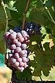 Calitor grappe.jpg