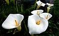 Calla Lilies (9683137733).jpg
