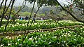 Calla Lily Fields 海芋田 - panoramio.jpg