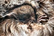 Callicebus-donacophilus 09.jpg