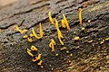 Calocera cornea (29082683175).jpg
