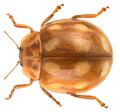 Calvia decemguttata (Linnaeaus, 1767).png
