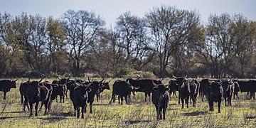 Camargue cattle, Saint-Gilles 09.jpg