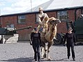 Camel at Fort Nelson - geograph.org.uk - 599850.jpg