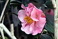 Camellia japonica Pink Icicle 5zz.jpg